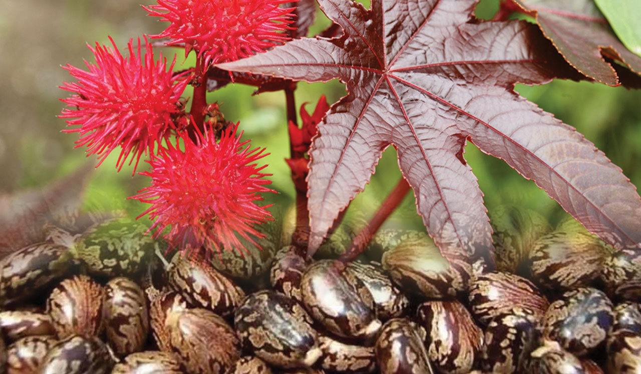 Benefits of Castor Oil - Enriched By Nature